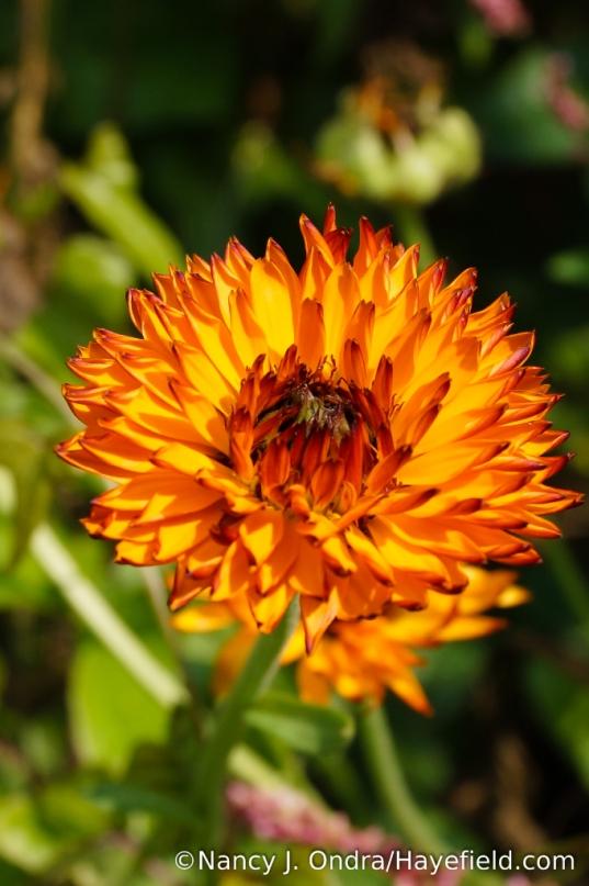 'Neon' pot marigold (Calendula officinalis) [Nancy J. Ondra/Hayefield.com]
