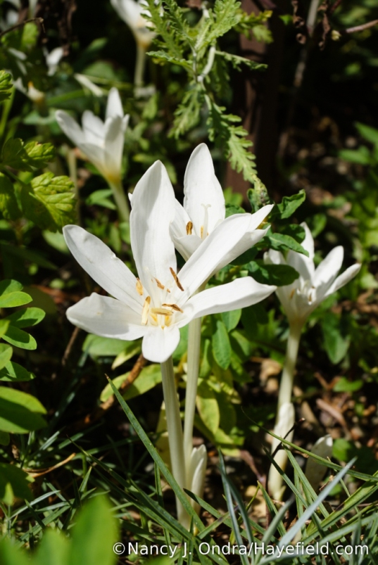 White autumn crocus (Colchicum autumnale 'Album') [Nancy J. Ondra/Hayefield.com]
