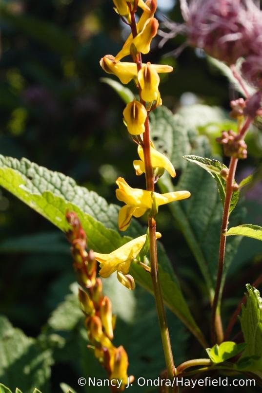 Corydalis ochotensis [Nancy J. Ondra/Hayefield.com]
