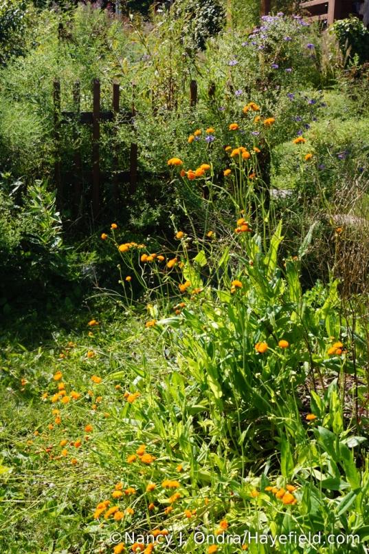 'Irish Poet' tassel flower (Emilia javanica) [Nancy J. Ondra/Hayefield.com]