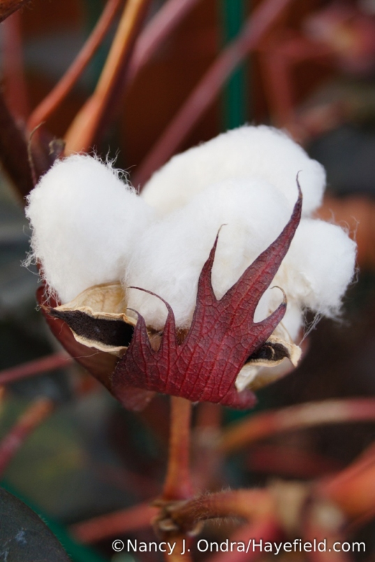 Black-leaved cotton (Gossypium herbaceum 'Nigrum') - finally starting to produce seed! [Nancy J. Ondra/Hayefield.com]