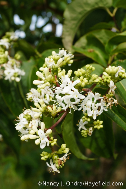 Seven-son flower (Heptacodium miconioides) [Nancy J. Ondra/Hayefield.com]