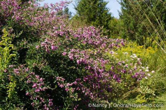 Japanese bush clover (Lespedeza thunbergii) [Nancy J. Ondra/Hayefield.com]