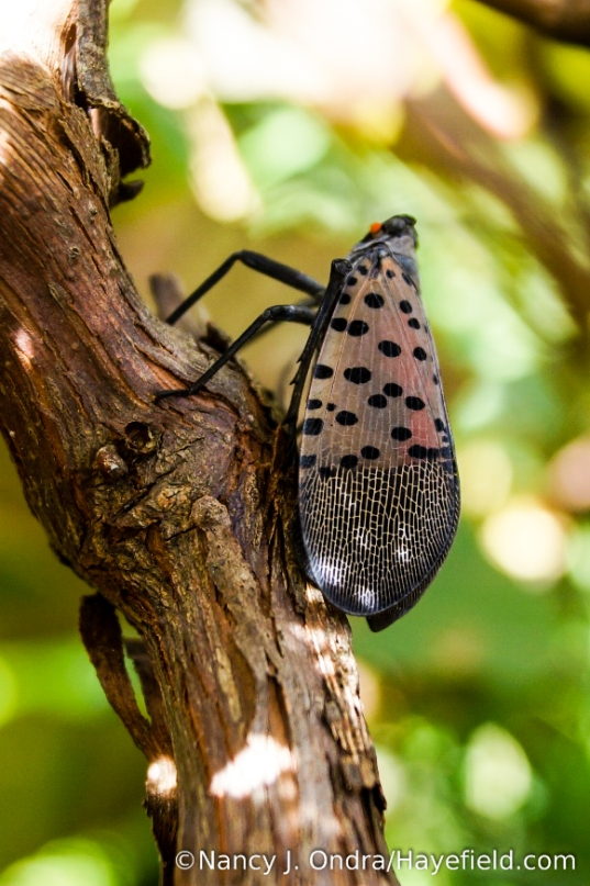 Spotted lanternfly (Lycorma delicatula) adult on 'Concord' grape (Vitis labrusca) [Nancy J. Ondra/Hayefield.com]