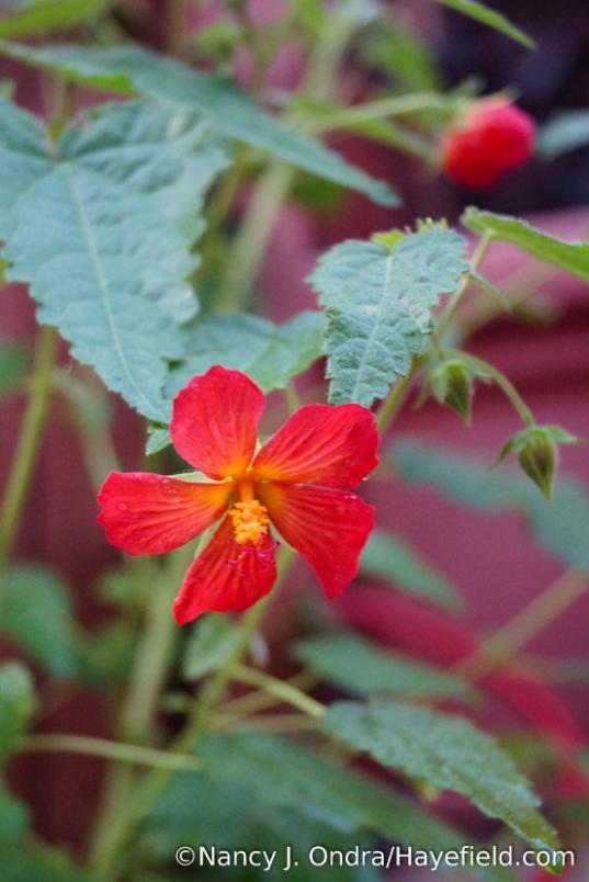 Red mallow (Pavonia missionum) [Nancy J. Ondra/Hayefield.com]