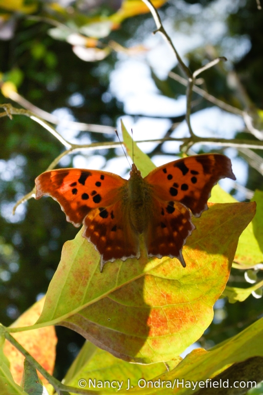 Question mark butterfly (Polygonia interrogationis) [Nancy J. Ondra/Hayefield.com]