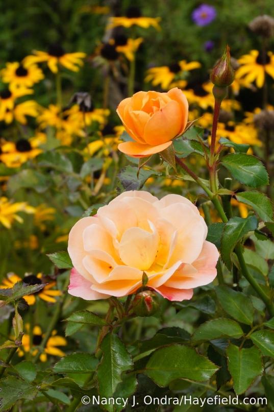 'Flower Carpet Amber' rose recently produced a few new blooms [Nancy J. Ondra/Hayefield.com]