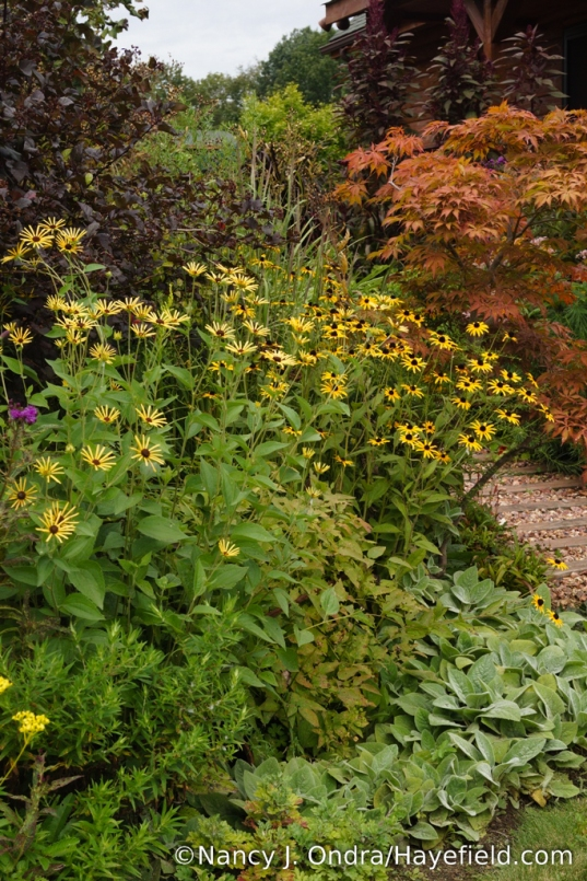 'Henry Eilers' sweet coneflower (Rudbeckia subtomentosa) - which had been cut back by about half in June - on the left, with orange coneflower (Rudbeckia fulgida) on the right [Nancy J. Ondra/Hayefield.com]