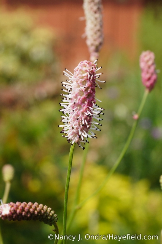Over the last few years, several pink-flowered clumps of Japanese burnet (Sanguisorba tenuifolia) have popped up in the garden, close to 'Alba' but also not far from 'Purpurea'. I suppose they are 'Rosea'. [Nancy J. Ondra/Hayefield.com]