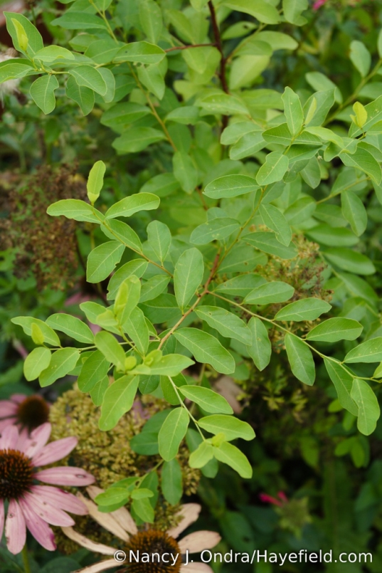 Here's a curiosity I started from seed two years ago: <em>Flueggea suffruticosa,</em> also known as <em>Securinega suffruticosa</em> or <em>S. ramiflora.</em> It's an uncommon deciduous shrub that's supposed to develop a handsome arching form as it matures. [Nancy J. Ondra/Hayefield.com]