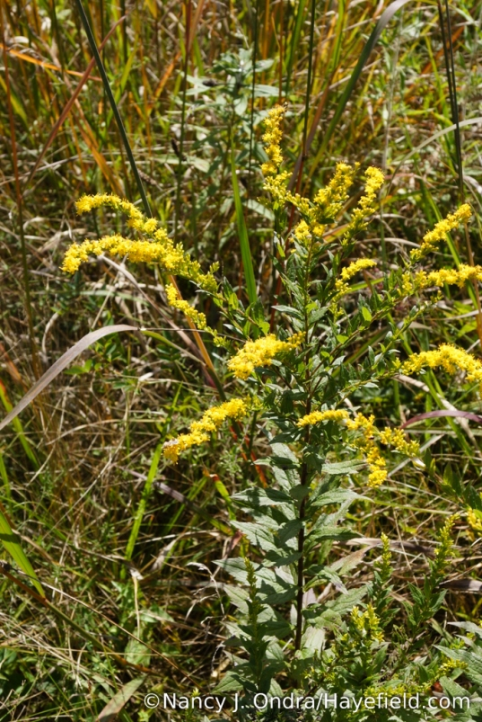 Wrinkled-leaf goldenrod (Solidago rugosa) [Nancy J. Ondra/Hayefield.com]
