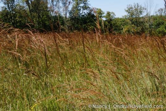 Indian grass (Sorghastrum nutans) - by the acre! [Nancy J. Ondra/Hayefield.com]