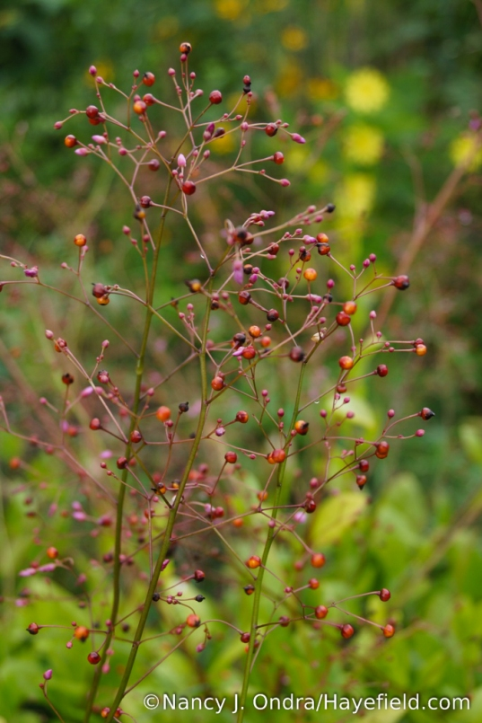 'Kingwood Gold' jewels of Opar (Talinum paniculatum) [Nancy J. Ondra/Hayefield.com]