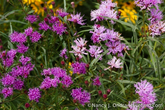 Color variation on narrowleaf ironweed (Vernonia lettermannii) [Nancy J. Ondra/Hayefield.com])