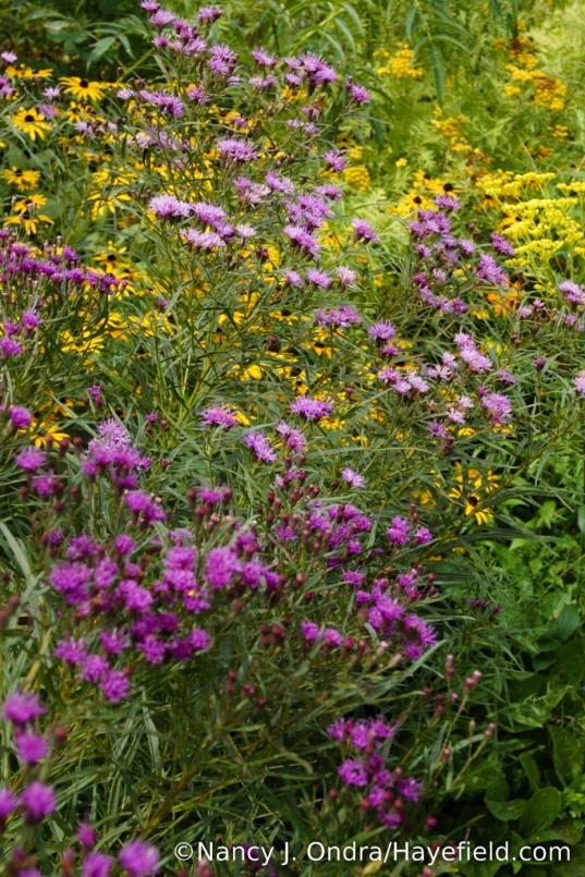 Color variation on narrowleaf ironweed (Vernonia lettermannii) [Nancy J. Ondra/Hayefield.com])