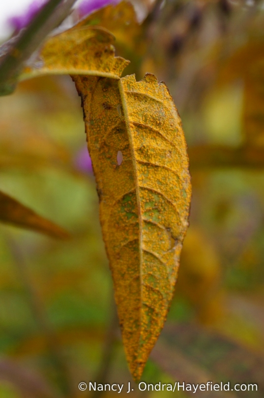 Rust on underside of New York ironweed (Vernonia noveboracensis) leaf [Nancy J. Ondra/Hayefield.com]