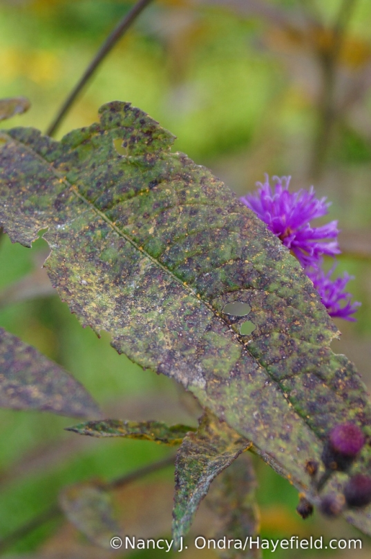 Rust on upper surface of New York ironweed (Vernonia noveboracensis) leaf [Nancy J. Ondra/Hayefield.com]