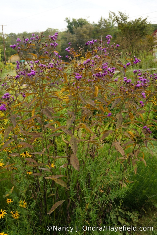 New York ironweed (Vernonia noveboracensis) with fungal rust (apparently Puccinia vernoniae) [Nancy J. Ondra/Hayefield.com]