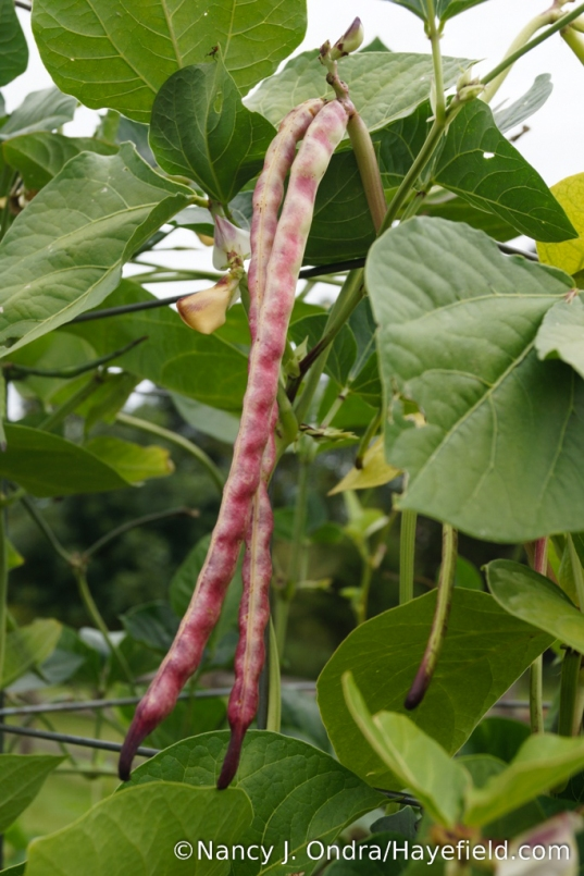 This one, with 1-foot-long, purple-blushed cream pods, is new for me this year. I'm not sure about the name, but it too looks like some variety of cowpea (Vigna unguiculata). [Nancy J. Ondra/Hayefield.com]