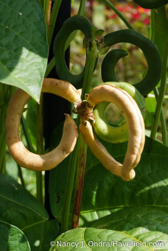 I've been growing pretzel beans (Vigna unguiculata 'Pretzel Bean') for several years now - not for eating but for their decorative value [Nancy J. Ondra/Hayefield.com]