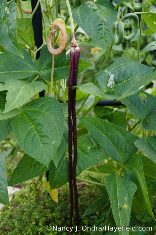 'Red Noodle' beans are another strain of Vigna unguiculata [Nancy J. Ondra/Hayefield.com]