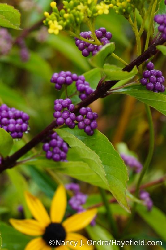'Issai' purple beautyberry (Callicarpa dichotoma) [Nancy J. Ondra/Hayefield.com]