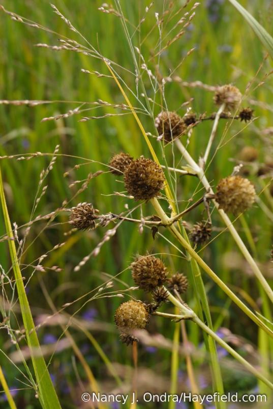 Rattlesnake master (Eryngium yuccifolium) seedheads with switch grass (Panicum virgatum) [Nancy J. Ondra/Hayefield.com]