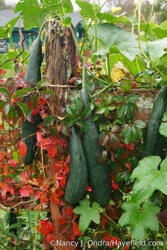 Luffa gourds (Luffa aegyptiaca) with Virginia creeper (Parthenocissus quinquefolius) [Nancy J. Ondra/Hayefield.com]