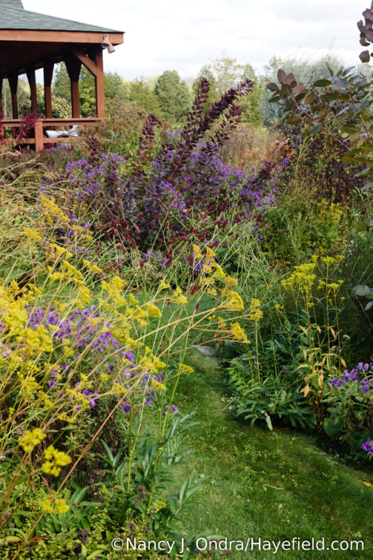 Golden lace (Patrinia scabiosifolia), Japanese burnet (Sanguisorba tenuifolia), 'Hella Lacy' New England aster (Symphyotrichum novae-angliae), and 'Royal Purple' smoke bush (Cotinus coggygria) in the front garden [Nancy J. Ondra/Hayefield.com]
