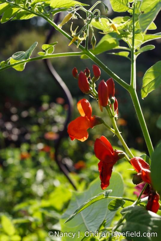 Scarlet runner bean (Phaseolus coccineus) with currant tomato (Solanum pimpinellifolium) [Nancy J. Ondra/Hayefield.com]