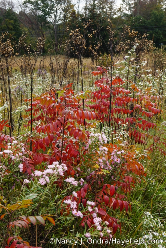 Shining sumac (Rhus copallinum), asters (Symphyotrichum), and ironweed (Vernonia) seedheads in the meadow [Nancy J. Ondra/Hayefield.com]