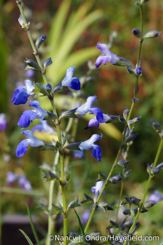 West Texas cobalt sage (Salvia reptans) [Nancy J. Ondra/Hayefield.com]