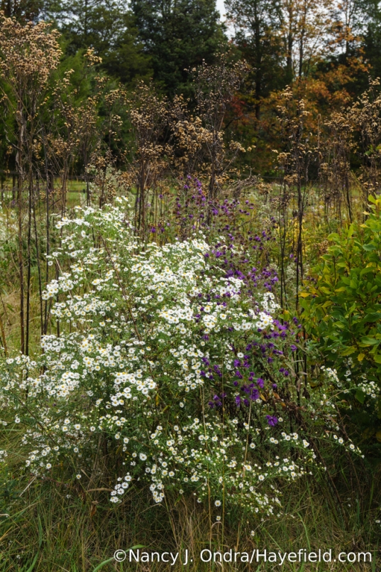 Asters and ironweed (Vernonia) seedheads in the meadow [Nancy J. Ondra/Hayefield.com]