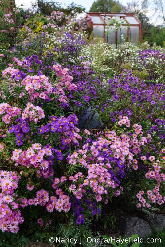 New England asters (Symphyotrichum novae-angliae): I started with purple 'Hella Lacy' and 'Harrington's Pink' many years ago, and the resulting offspring look pretty much identical. [Nancy J. Ondra/Hayefield.com]
