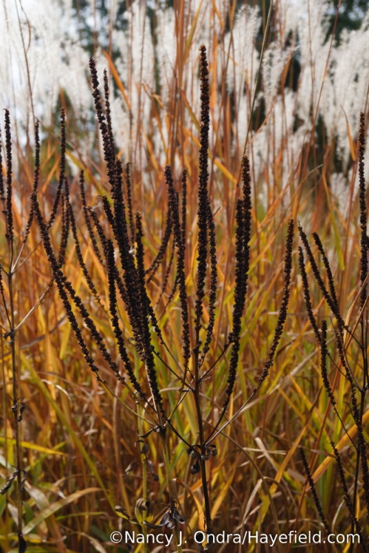 Culver's root (Veronicastrum virginicum) seedheads against flame grass (Miscanthus 'Purpurascens') [Nancy J. Ondra/Hayefield.com]