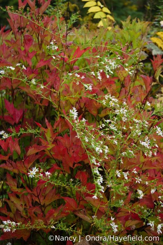'Bailey Compact' American cranberrybush (Viburnum trilobum) with heath aster (Symphyotrichum ericoides) [Nancy J. Ondra/Hayefield.com]
