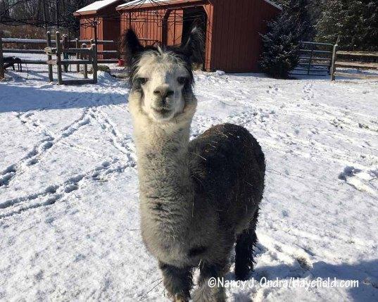 #Duncanthealpaca [Nancy J. Ondra/Hayefield.com]
