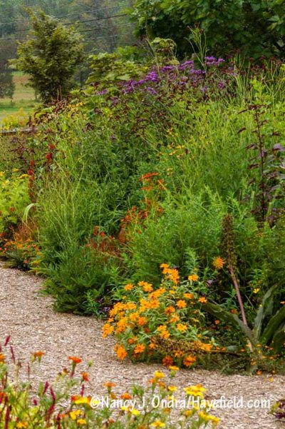 The front garden at Hayefield with purple Japanese burnet (Sanguisorba tenuifolia var. purpurea), 'Henry Eilers' sweet coneflower (Rudbeckia subtomentosa), 'Coppelia' Helen's flower (Helenium), tall ironweed (Vernonia gigantea), and 'Profusion Double Golden' zinnia [Nancy J. Ondra/hayefield.com/nancyjondra.com]