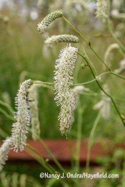 White Japanese burnet (Sanguisorba tenuifolia var. alba) [Nancy J. Ondra/hayefield.com/nancyjondra.com]