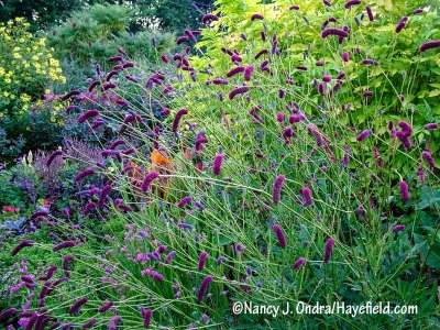 Purple Japanese burnet (Sanguisorba tenuifolia var. purpurea) against the bright yellow foliage of golden elderberry (Sambucus nigra 'Aurea') [Nancy J. Ondra/hayefield.com/nancyjondra.com]