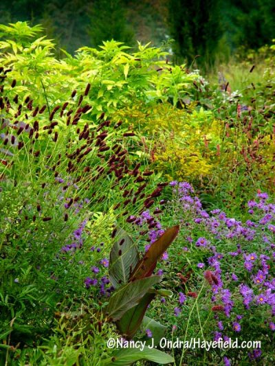 Purple Japanese burnet (Sanguisorba tenuifolia var. purpurea) with New England aster (Symphyotrichum novae-angliae), goldenrod (Solidago), Canna indica 'Purpurea', and golden elderberry (Sambucus nigra 'Aurea') [Nancy J. Ondra/hayefield.com/nancyjondra.com]