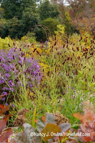Purple Japanese burnet (Sanguisorba tenuifolia var. purpurea) with 'Hella Lacy' New England aster (Symphyotrichum novae-angliae) and the foliage of 'Grace' smoke bush (Cotinus) [Nancy J. Ondra/hayefield.com/nancyjondra.com]