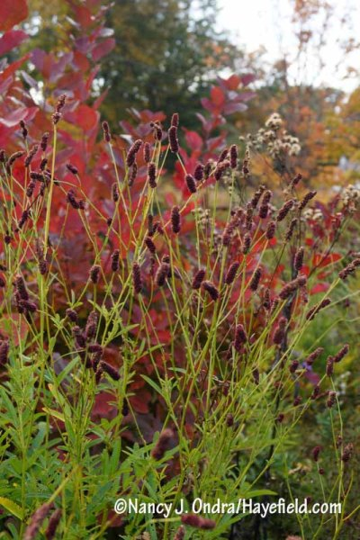 The flowers of purple Japanese burnet (Sanguisorba tenuifolia var. purpurea) against the foliage of 'Grace' smoke bush (Cotinus) in red fall color [Nancy J. Ondra/hayefield.com/nancyjondra.com]