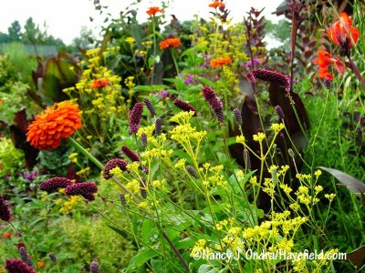 Another of my favorite garden groupings: purple Japanese burnet (Sanguisorba tenuifolia var. purpurea) with the vibrant blooms of golden lace (Patrinia scabiosifolia) and 'Orange King' zinnia (Zinnia elegans) [Nancy J. Ondra/hayefield.com/nancyjondra.com]
