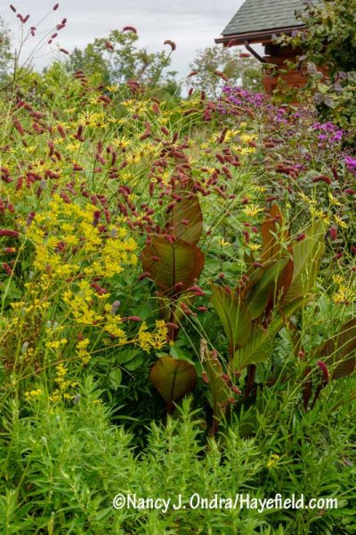 Purple Japanese burnet (Sanguisorba tenuifolia var. purpurea) with golden lace (Patrinia scabiosifolia), Canna indica 'Purpurea', 'Henry Eilers' sweet coneflower (Rudbeckia subtomentosa), and New York ironweed (Vernonia noveboracensis) [Nancy J. Ondra/hayefield.com/nancyjondra.com]