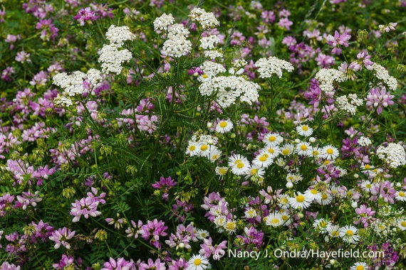 A combination of the flowers of three plants often considered weeds: crown vetch (Coronilla varia), common yarrow (Achillea millefolium), and common fleabane (Erigeron philadelphicus) [Nancy J. Ondra/nancyjondra.com]