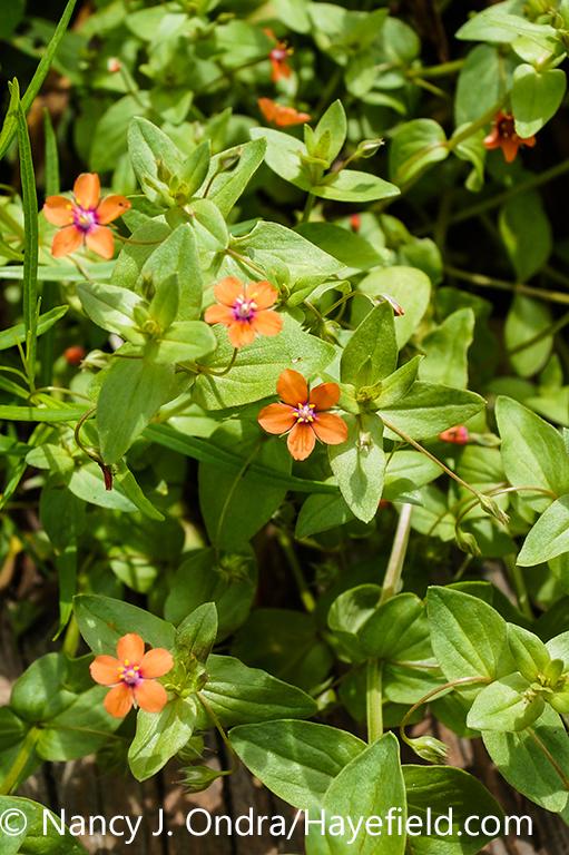 Closeup of the flowers and leaves of scarlet pimpernel (Anagallis arvensis) plant [Nancy J. Ondra/nancyjondra.com]