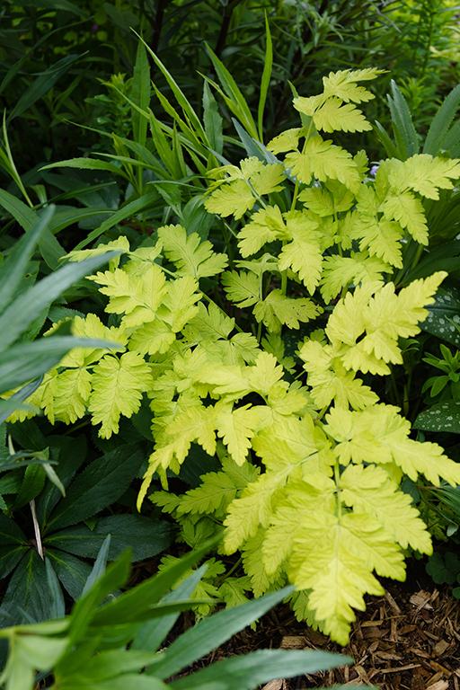 Closeup of the foliage (leaves) of 'Golden Fleece' cow parsley (Anthriscus sylvestris), also known as 'Golden Fleece' wild chervil [Nancy J. Ondra/nancyjondra.com]