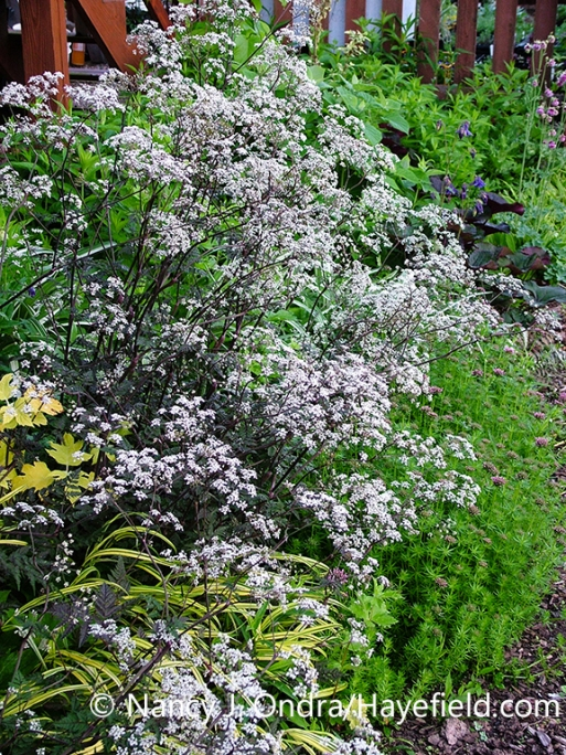 A plant of 'Ravenswing' cow parsley (Anthriscus sylvestris), also known as 'Ravenswing' wild chervil, in a garden setting [Nancy J. Ondra/nancyjondra.com]
