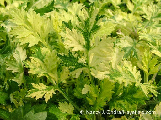 Closeup of the yellow-variegated foliage (leaves) of Oriental Limelight mugwort (Artemisia vulgaris 'Janlim') [Nancy J. Ondra/nancyjondra.com]